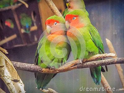 Beautiful colored couple parrot lovers