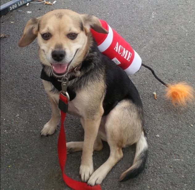 Lucky is a male Beagle/Shepherd mix available at Raleigh County Animal Rescue, Coal City,WV.