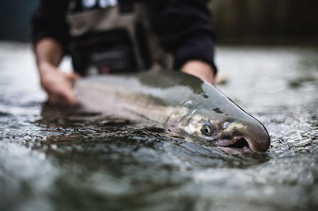 Connecting with giants on the Pitt. Book now to secure your spot with us next season. #flyfishing #catchandrelease #salmon #coho #vancouver #gooutside #explore
