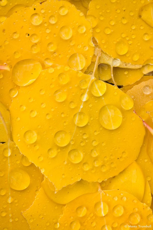 Golden Aspen Leaf with Raindrops