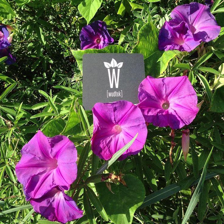 #purple #bindweed #fieldbindweed #ipomoea #liseron #convolvulus #porpora #ackerwinde #winde #violett #violet #newlogo #newdesign #zurichdesign #newbrand #brandexperience #instaflower #picture from #sardegna #Sardinien #sardinia by wudtek
