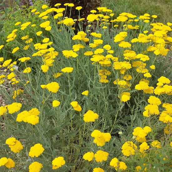 Yarrow  Yarrow is a tough plant that grows well in dry, sunny conditions. Fern-leaf yarrow, pictured here, has silvery-gray foliage with clusters of golden-yellow blooms that are attractive to butterflies. It's also deer-resistant.  Name: Achillea selections  Zones: 3-10