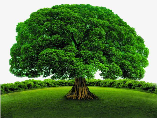 Resultado de imagen para arbol frondoso | Arbol frondoso, Paisajes con  arboles, Fotografía de árboles