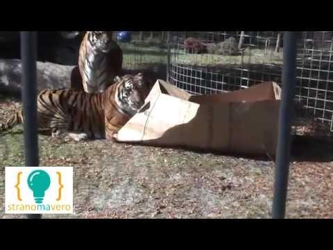Ma quanto deve essere grosso un gatto per odiare le scatole ? - http://www.stranomavero.xyz/animali-bestiali/ma-quanto-deve-essere-grosso-un-gatto-per-odiare-le-scatole.html