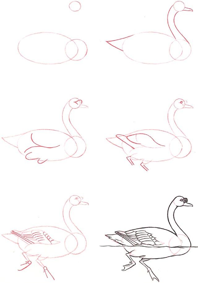 Learn to draw: Swan  and other animals step by step