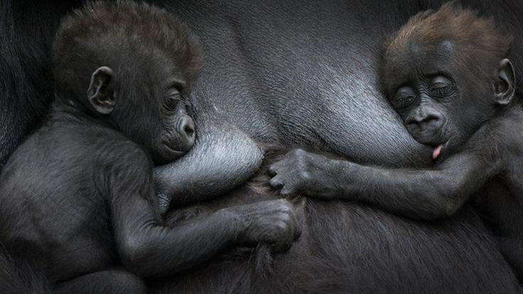 Western lowland gorilla (Gorilla gorilla gorilla) (Credit: Edwin Giesbers/NPL)