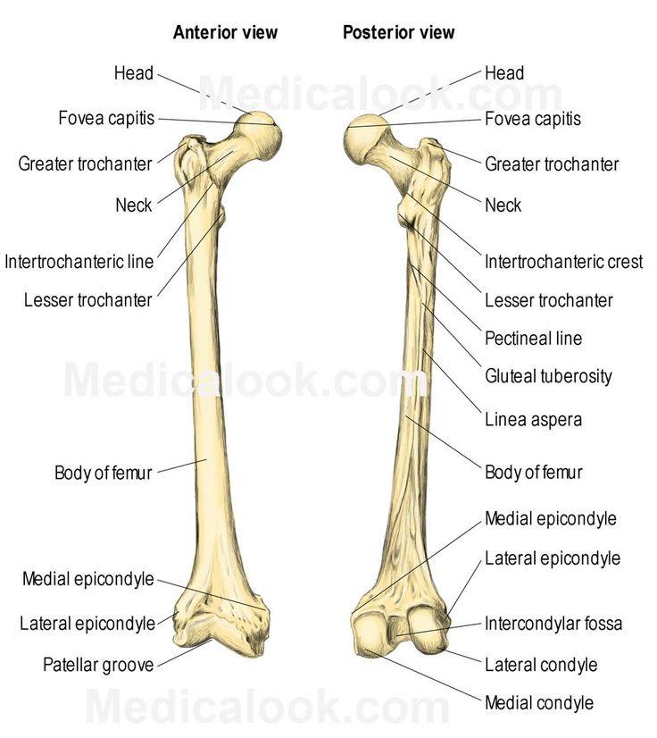 The Femur consists of four parts:  the head, greater trochanter, lesser trochanter, and the lower extremity. Learn more about the vital role or femur on the bones of our legs. http://www.learnbones.com/leg-bones-anatomy/