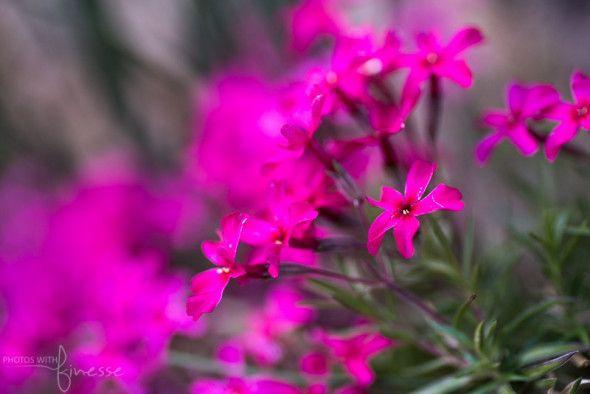 A hot pink Moss Phlox.  Reader Rock Gardens Calgary.