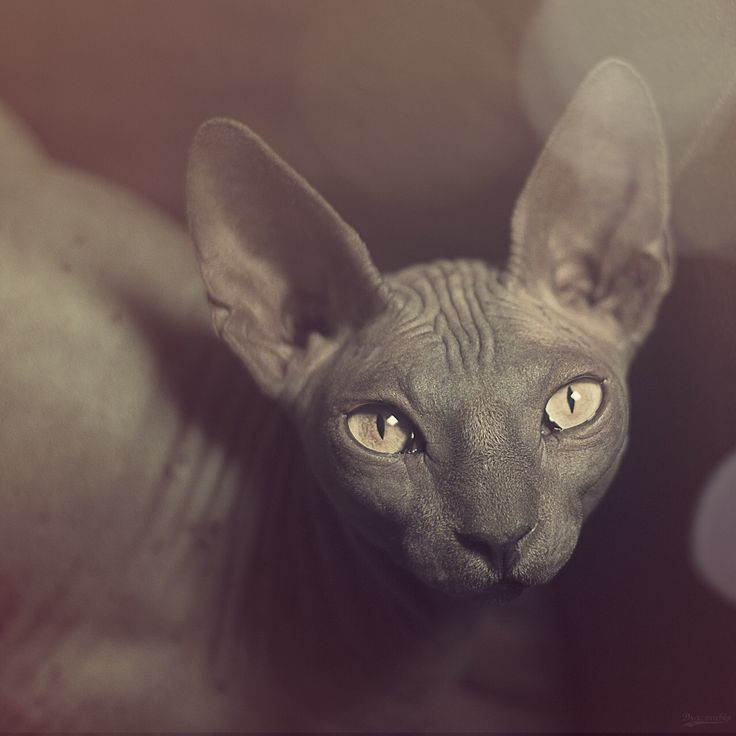 Assez 9 best BDSM CATS images on Pinterest | Sphynx OP06