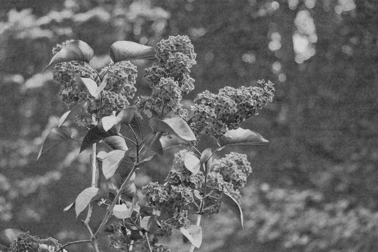 Day 11 Photo of lilacs  - black and white