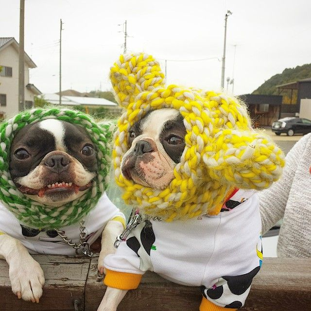 Yes, we love the hats mom knit us!!! 2 French Bulldogs with a Crazy Knitting Mom ; )