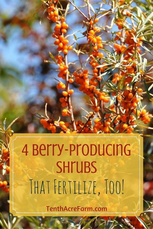 Finding food-producing plants that are also useful in other ways is a great joy of mine. These four shrubs will not only provide berries for you, but also produce nitrogen to fertilize the garden.