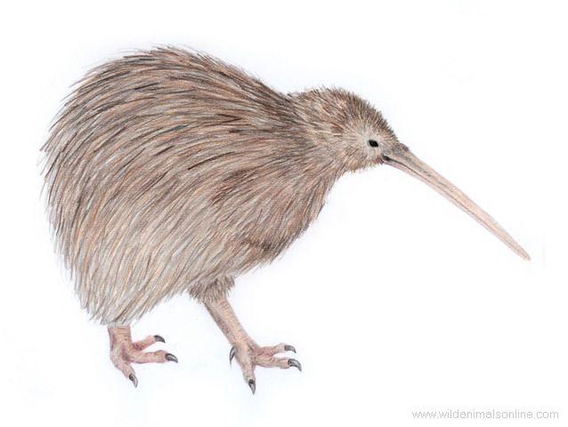 Common Kiwi / Brown Kiwi ( Apteryx australis )