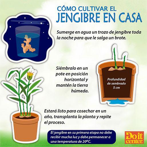 Siembra tu propio jengibre en casa el jengibre tiene Como cultivar peces en casa