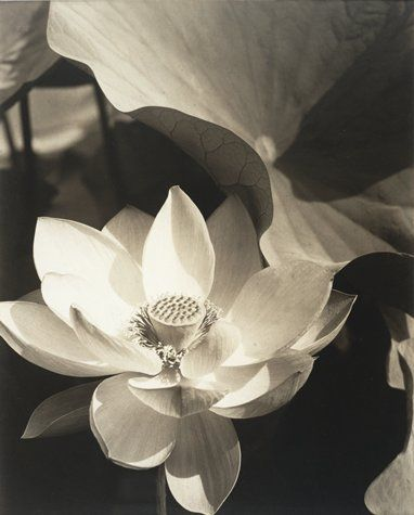 Edward Steichen / Lotus, Mount Kisco, New York / 1915 / gelatin silver print