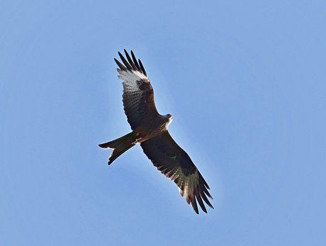 Haja červená patrí medzi najviac ohrozené vtáčie druhy.