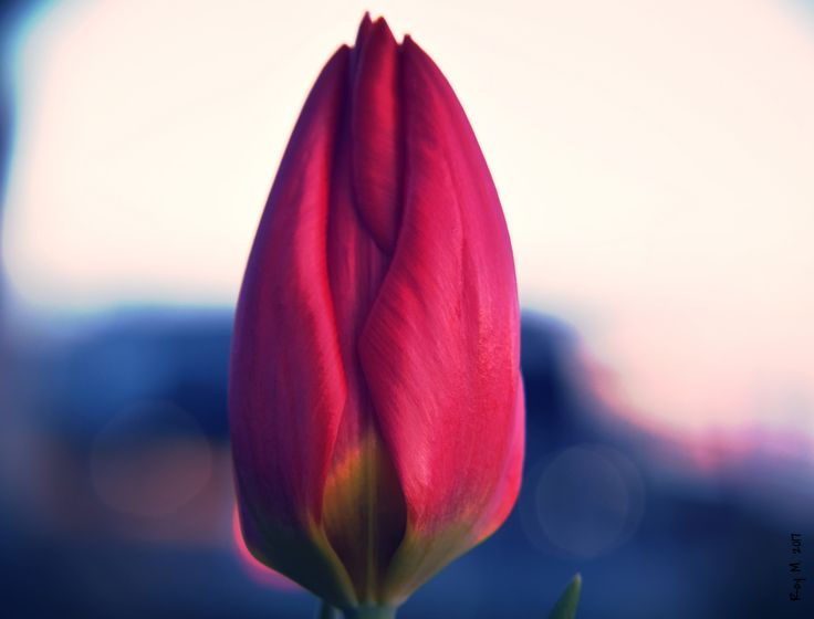"https://flic.kr/p/Rg96ch | ""A tulip doesn't strive to impress anyone......."" 
