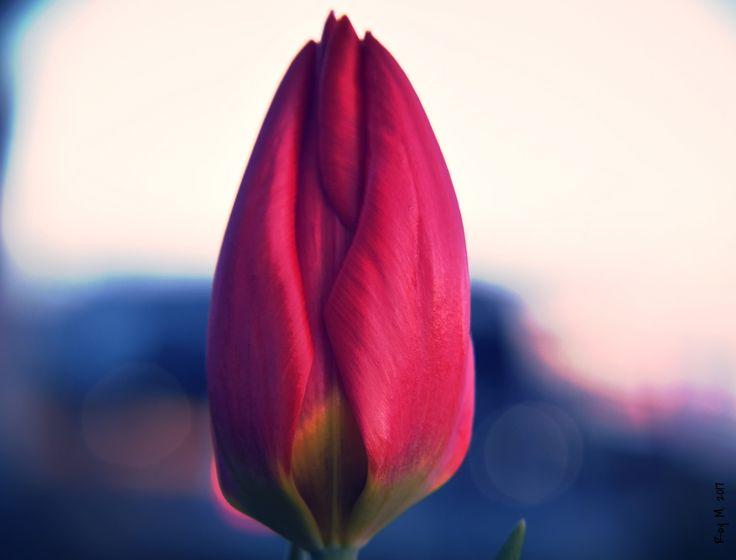 "https://flic.kr/p/Rg96ch | ""A tulip doesn't strive to impress anyone......."" | DSC_0600"