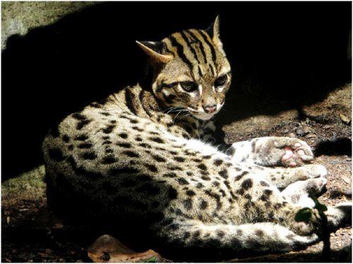 El gato de Bengala | La Reserva