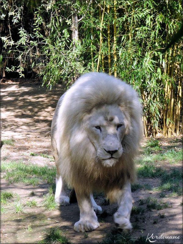 Yabu, le Lion blanc du Zoo de la Flèche