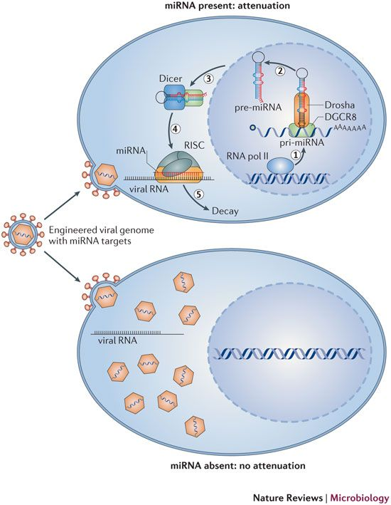 RNA viruses and the host microRNA machinery