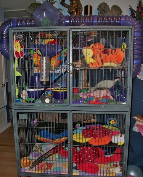 2 Ferrets W Cage Complete Setup 103 1224 515x640 Jpg
