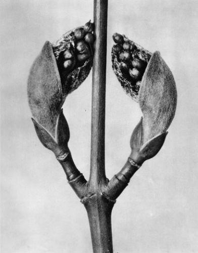 Karl Blossfeldt, Acer rufinerve, Red-veined maple, twig w/ leaf buds