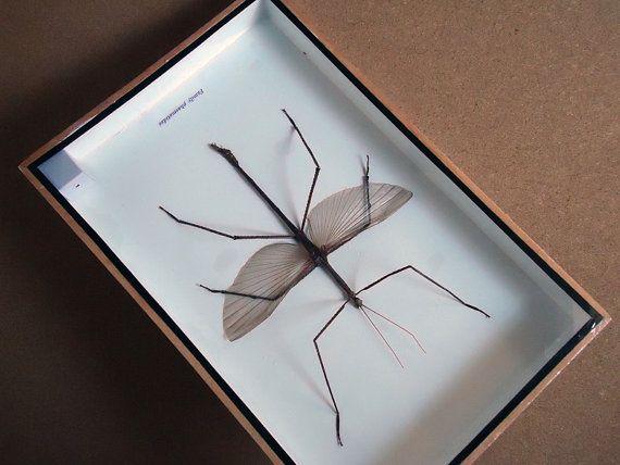 Bug monté sur bâton de marche mâle taxidermie par TopButterflies