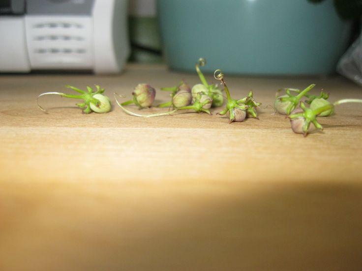 Seeds from my firecracker vine. Aug 92013