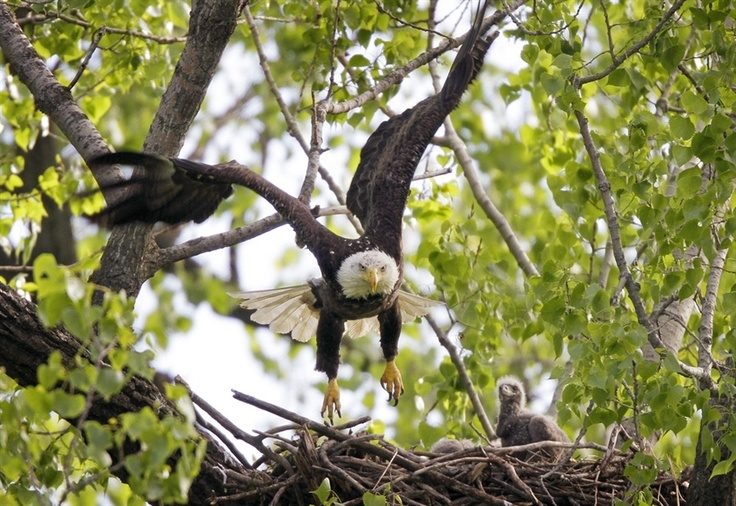 A bald eagle flies from its nest at Gray's Lake Park in Des Moines, Iowa on April 17.Eagles Fly, April 17, Gray Lakes, America, Des Moines Iowa, Lakes Parks, Bald Eagles Brackend, British Columbia, Eagles Population