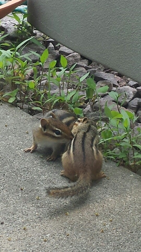 how to catch a chipmunk