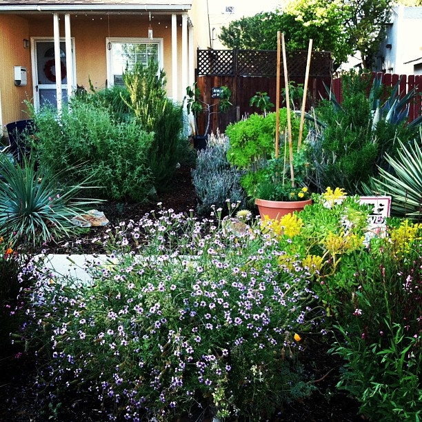 Drought Tolerant Front Yard: My Wild And Wooly Front Yard With Native And Drought
