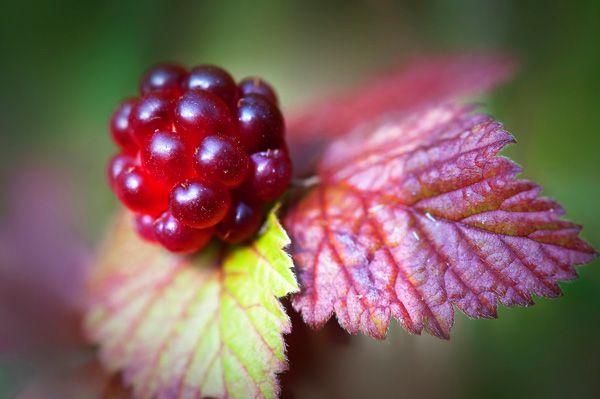 Mesimarja - Rubus Arcticus (Arctic Raspberry)