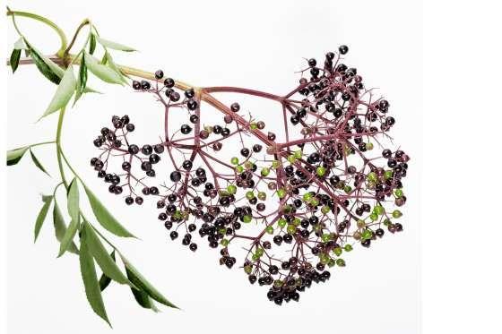 BAIES DE SUREAU La confiture de sureau (faite à partir des baies) est délicieuse, c'est vrai, mais gardez vos distances avec les feuilles, les branches et les pépins, qui peuvent causer des vomissements. Ne cueillez que les baies très mûres.