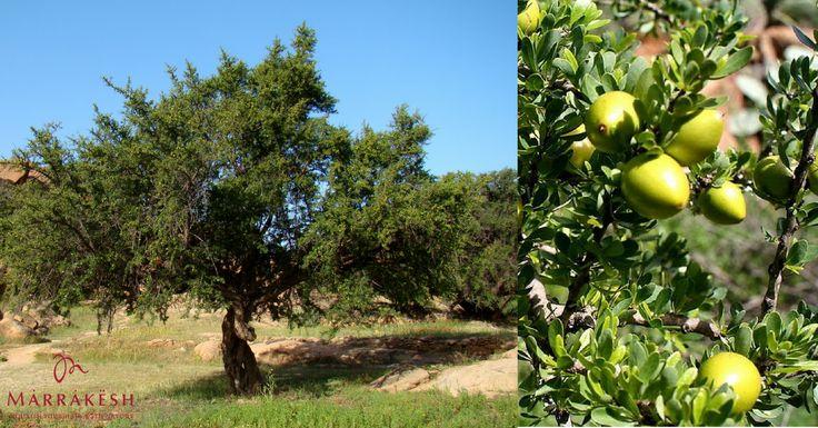 Ştiaţi că...  Arborele de Argan este unul dintre cei mai vechi arbori de pe planetă? În plus, uleiul de argan, conţinut de toate produsele Marrakesh, este şi uleiul cel mai rar din lume: pentru a se obţine un litru de ulei, este necesară o cantitate de cel puţin 30 kg de sâmburi de argan, ceea ce reprezintă producţia a aproximativ 6 arbori de Argan. https://www.pestisoruldeaur.com/marrakesh