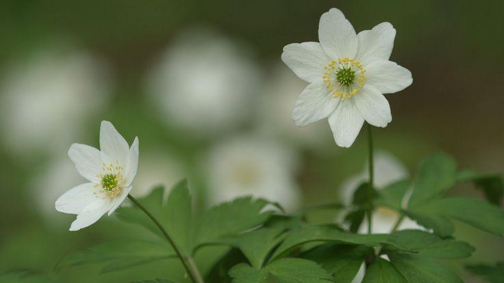 Suolle, sammakkolammelle vai saaristoon? Kevät keikkuen tulevi, mutta mitkä lajit ehtivät ensin? Tutustu Suomen keväiseen luontoon seuraavien videoiden avulla.