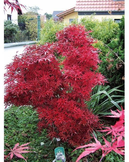 Erable Japonais Shaina Willemse Arbustes A Fleurs Arbuste Jardin Japonais