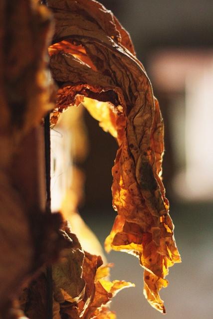 Sun lit tobacco leaf by Yipski, via Flickr