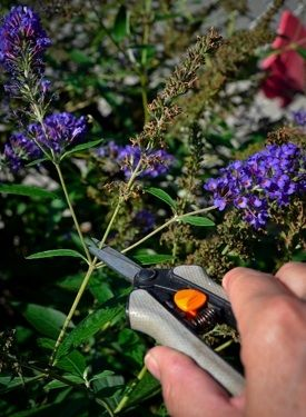 The Importance of Deadheading - Buddleia plant