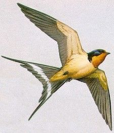 Realistic swallow in brown - back shoulder blades
