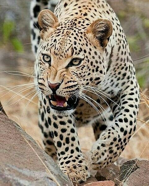 South African Leopard Photo by ©Flash-Joerg #wildlifeonearth