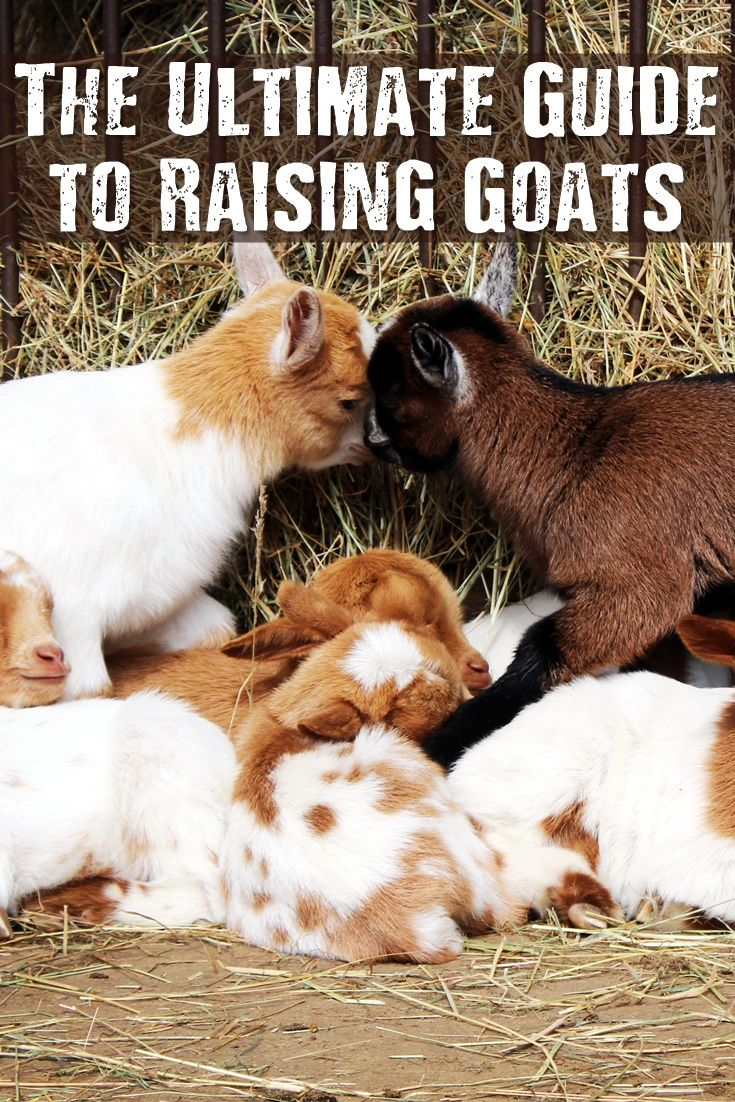The Ultimate Guide to Raising Goats - When living off the land, you essentially have three ways to get food. You can grow your own fruits and vegetables, hunt wild game, or raise animals. In this article, truthdurvival focuses on the latter. Specifically, how to raise goats. The great thing about goats is that you can use them for dairy (they give milk daily) or you can raise them for meat.