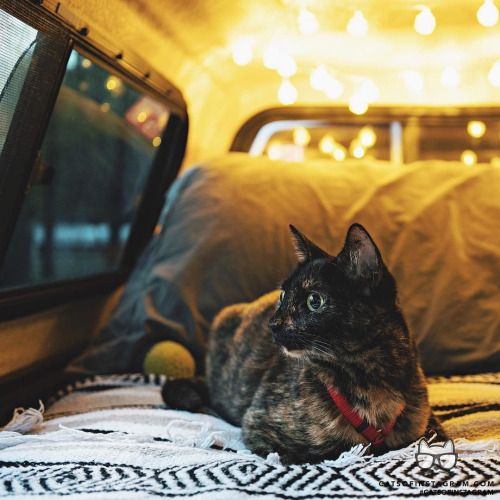 From @Whiskered_Away: Eevee was happy as a clam during our first voyage out in the truck camper! She cant wait for the next trip!!  #twitterweek #catsofinstagram [source: https://www.instagram.com/p/BMnw0TFjl4o/ ]