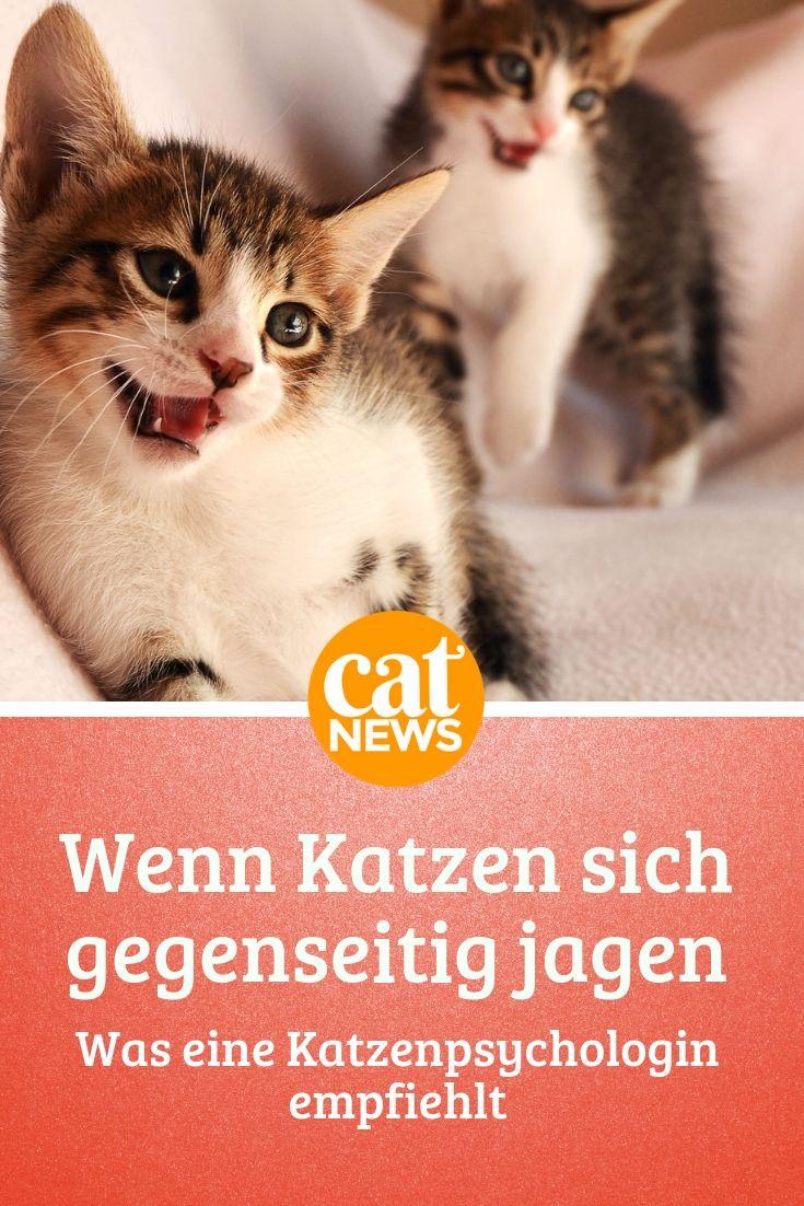 Katzen Jagen Sich Gegenseitig Durch Die Wohnung Eine Findet Es Furchtbar Was Tun Katzen Verhalten Katzen Mehrere Katzen