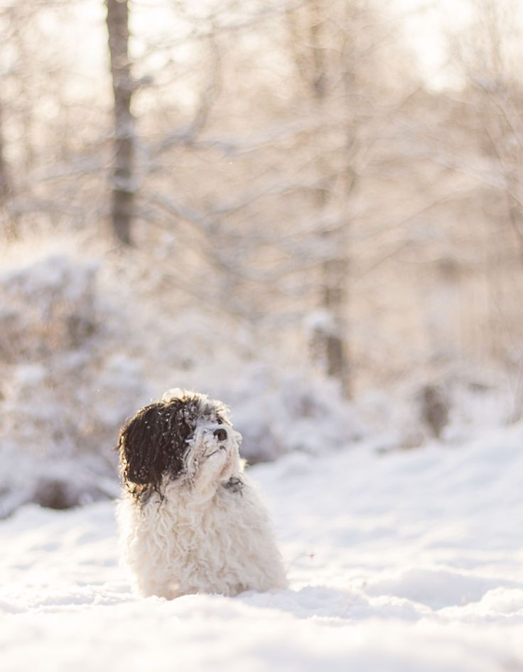 #winter #sweden #snowy #dogphotography #vinter #hund #afternoon #sunny #mixbreed