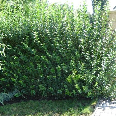 Les 31 meilleures images propos de plantes de lisi re sur pinterest dauphinelles planters for Arbuste persistant ombre le havre
