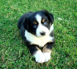 Blue eyed black tri Mini Australian Shepherd puppy