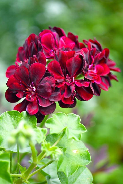 Ivy Geranium  I do love these plants, such a variety of colours and you can take cuttings!!!  LM