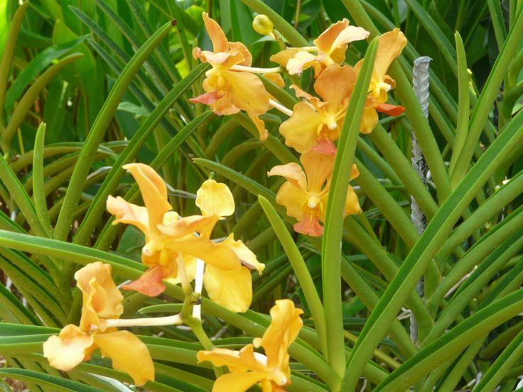 Orange Sprig Orchids National Orchid Garden, Singapore October 2011
