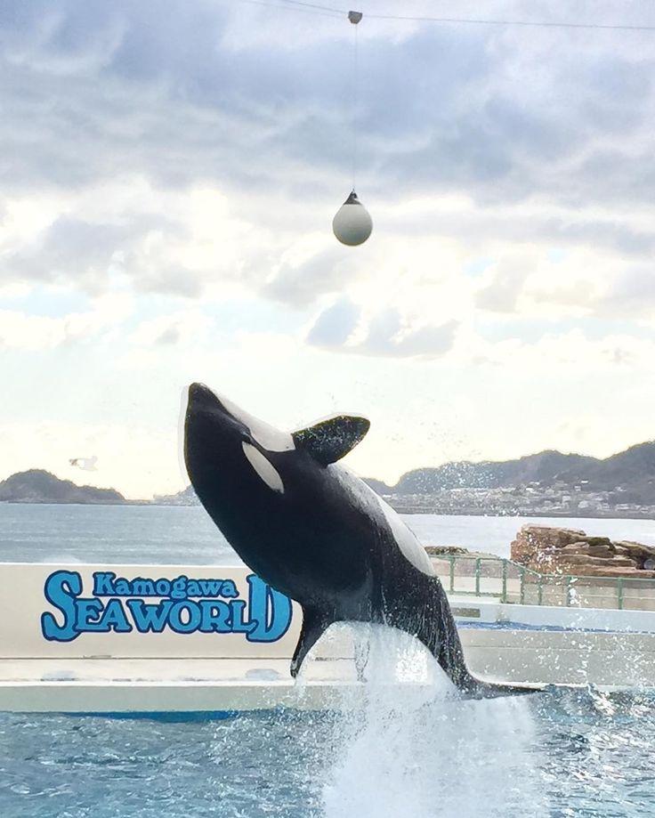 鴨シーといえばシャチ 大きくてかわいいー  iPhone写真 綺麗に撮れたっ  #シャチ  #killerwhale  #水族館 #社員旅行 #お気に入り #楽しい #千葉 #房総半島 #鴨川シーワールド #鴨シー  #鴨川 #かわいい #sea #love #ネイリスト #iphone6  #スマホ #instagramjapan  #instagram_kids #ファインダー越しのわたしの世界  #写真好きな人と繋がりたい